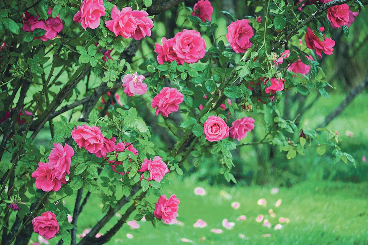 Bild von einem Rosenstrauch