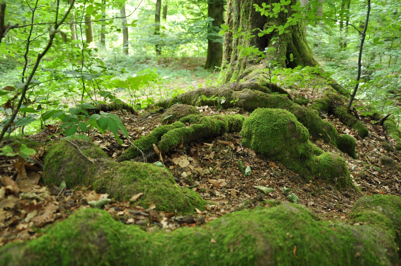 Bäume und Wurzeln im Laubacher Wald